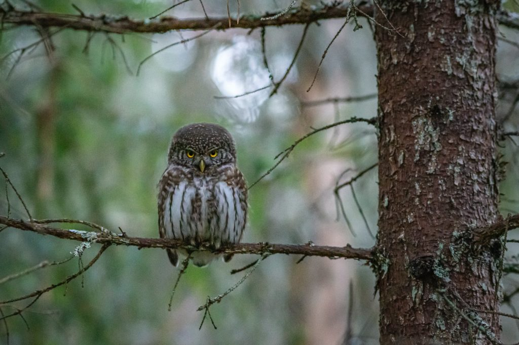 brown owl on perched on brown tree branch