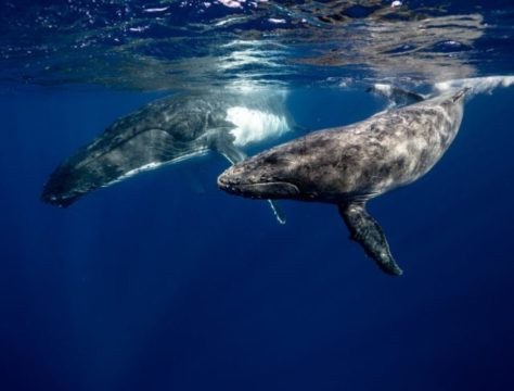 black and white whales under water