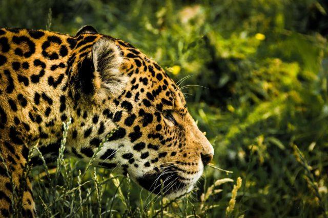 animal big big cat blur