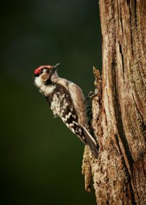 selective focus photo of downy woodpecker on tree trunk
