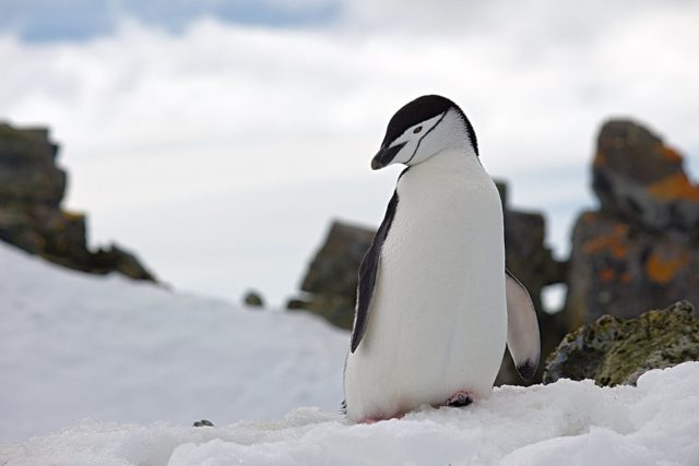 penguin on top of snow wildlife photography