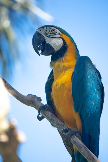 blue and yellow macaw perched on twig