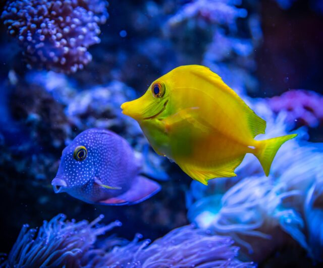 yellow and blue fish in water