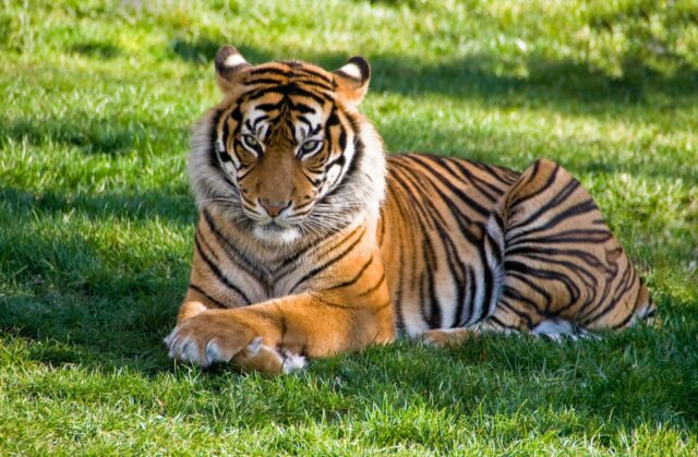 tiger lying on green grass