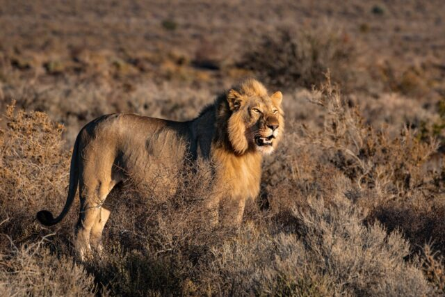 photo of lion on grass field