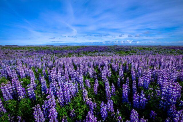 purple flower field under blue sky
