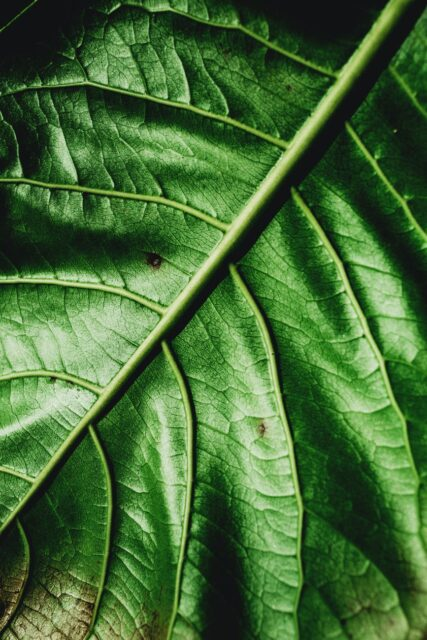 fresh green surface of leaf with thin veins