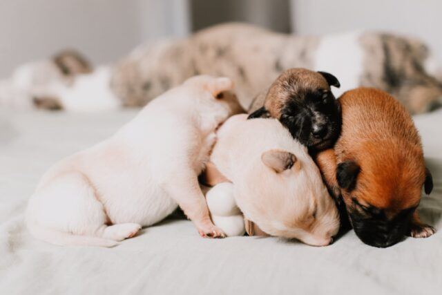 close up of four puppies sleeping tightly together